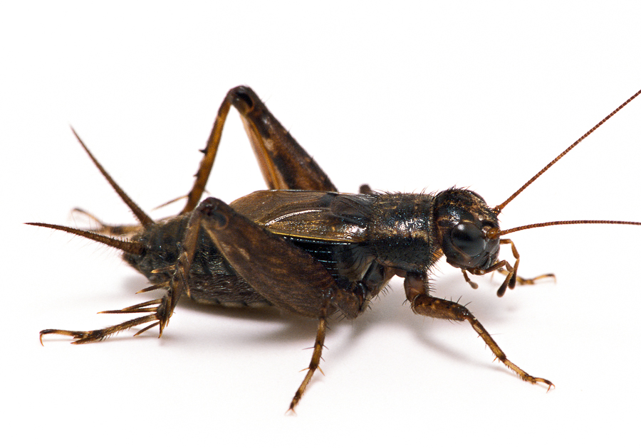 Cricket Insect Png - Striped Ground Cricket