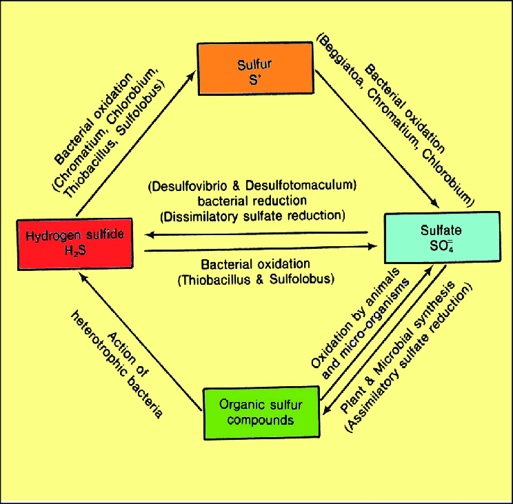 Sulfur Cycle Png - Sulfur cycle-related minerals and their genetic pathways ...