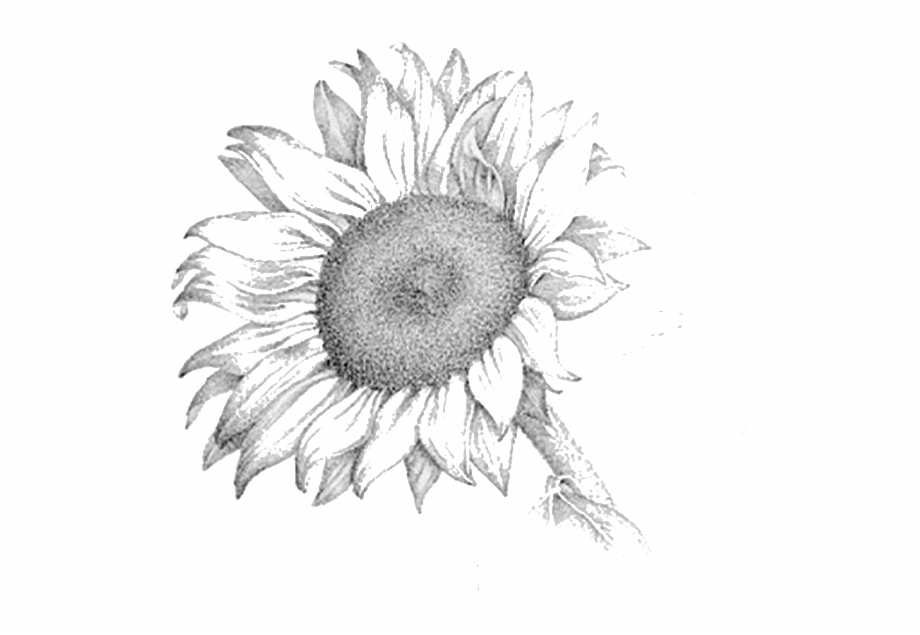 Sunflower Drawing Png - Sunflower Drawing Png images collection for free download | keks.cat