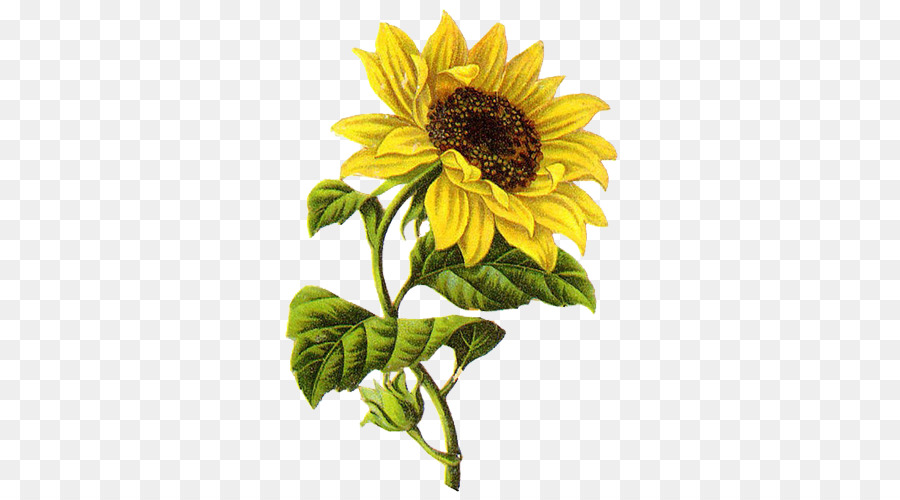 Sunflower Drawing Png - Sunflower Drawing