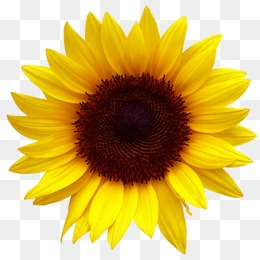 Sunflower Pngs - Sunflower PNG Images, Download 1,994 Sunflower PNG Resources with ...