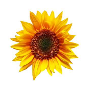 Fall Sunflower Png - Sunflower PNG Images, Download 2,100 Sunflower PNG Resources with ...