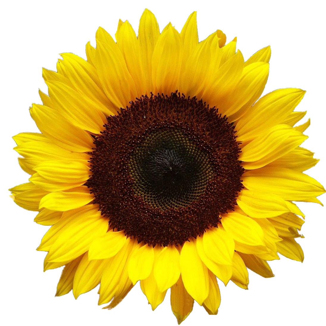 Fall Sunflower Png - Sunflower PNG images free download