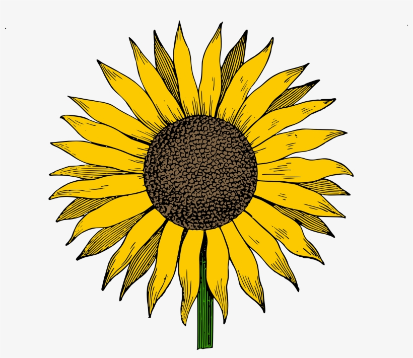 Sunflower Drawing Png - Sunflower Vector - Cute Sunflower Drawing - Free Transparent PNG ...