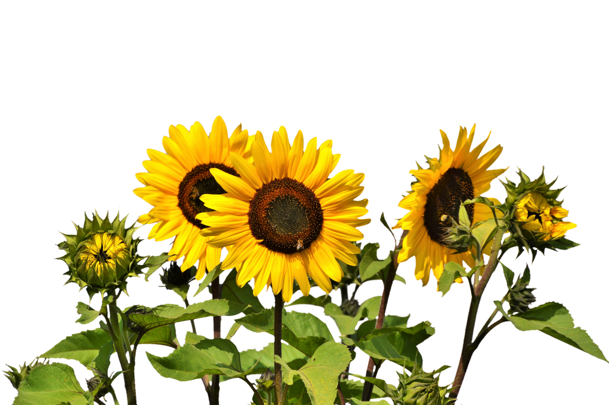 Sunflower Pngs - Sunflowers PNG Image - PurePNG | Free transparent CC0 PNG Image ...