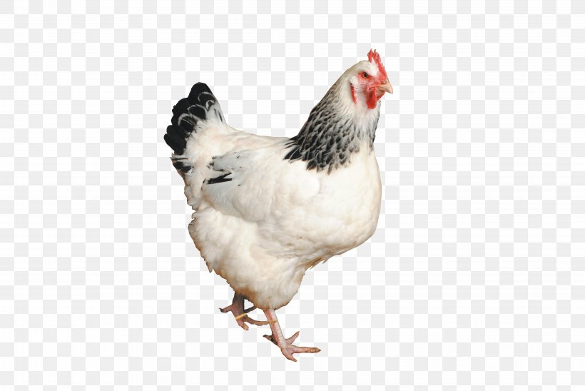 Sussex Chicken Png - Sussex Chicken Australorp Orpington Chicken Silkie Poultry, PNG ...