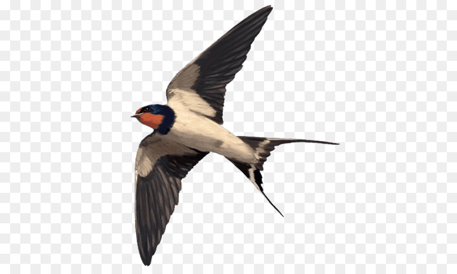 Barn Swallow Png - Swallow Bird png download - 768*536 - Free Transparent Swallow png ...