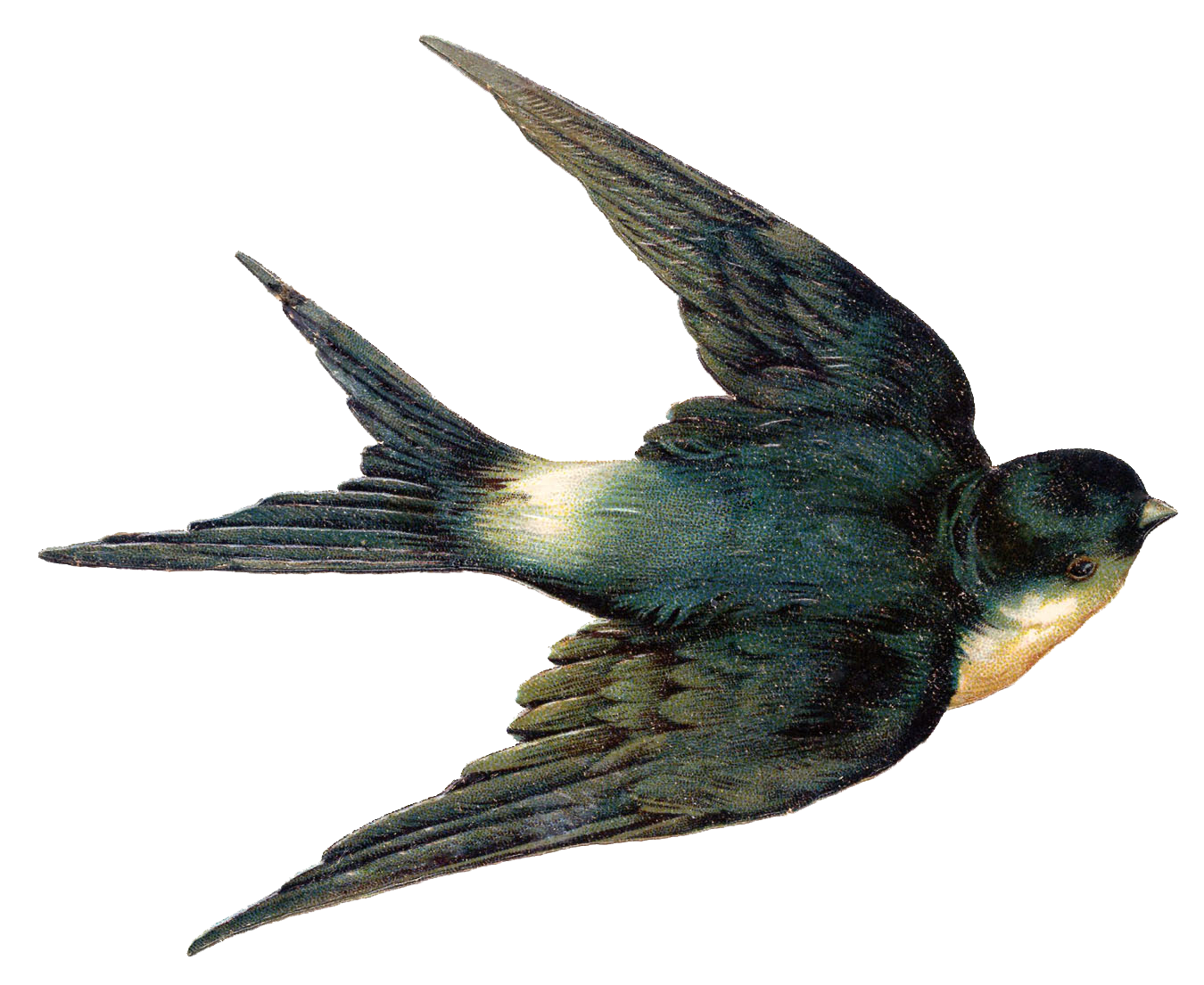 Swallow Png - Swallow PNG Clipart
