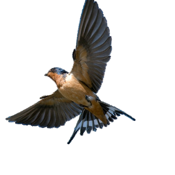 Swallow Png - Swallow PNG
