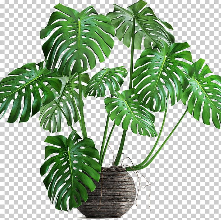 Philodendron Png - Swiss Cheese Plant Philodendron Bipinnatifidum Houseplant Autodesk ...