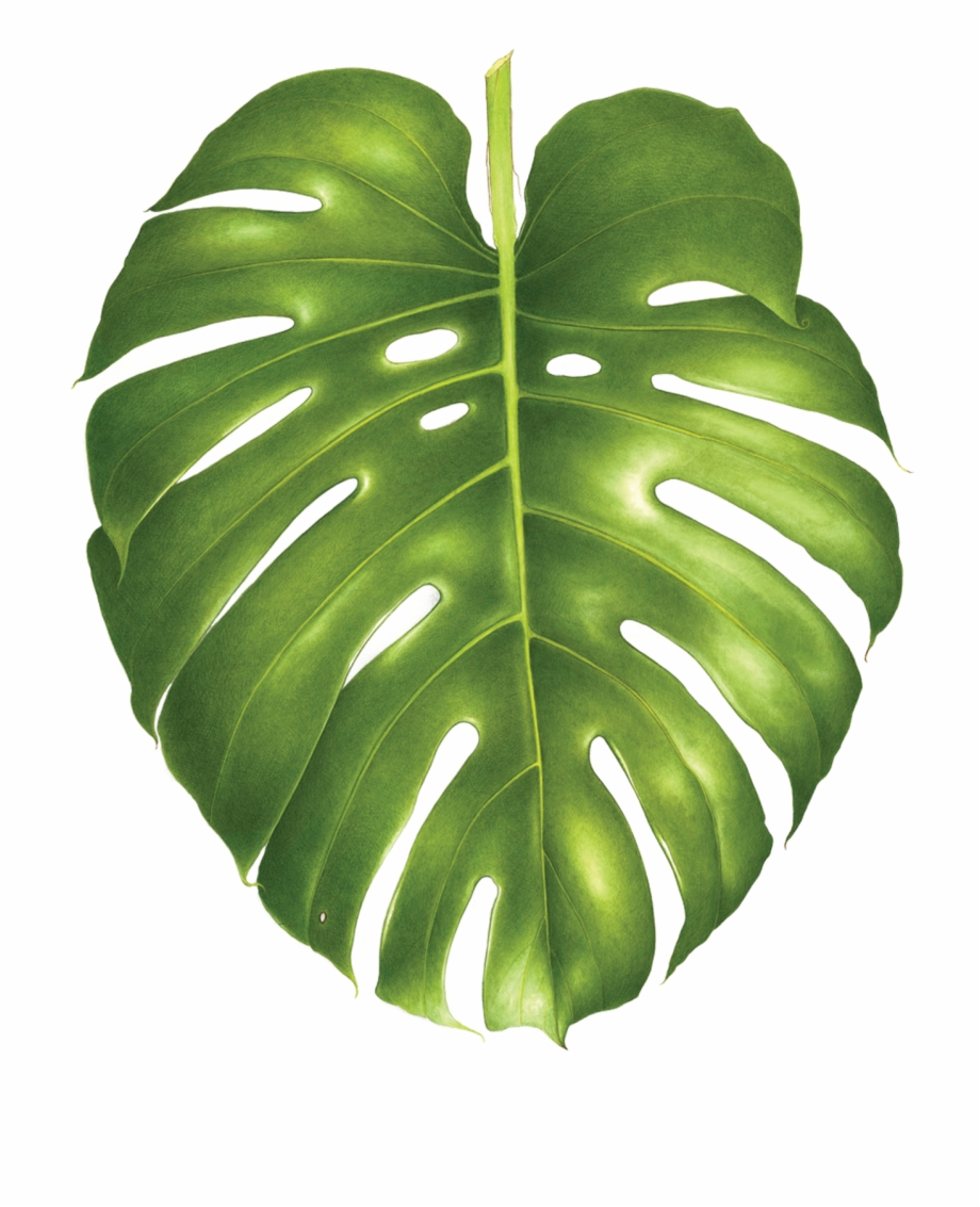 Philodendron Png - Tattly Monstera Leaf Tattoo - Philodendron Png, Transparent Png ...