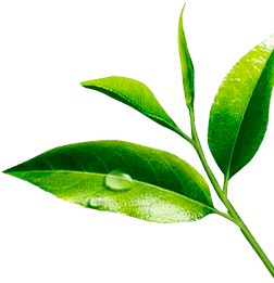 Coffee Tea Leaves Png Free Coffee Tea Leaves Png Transparent Images 113069 Pngio