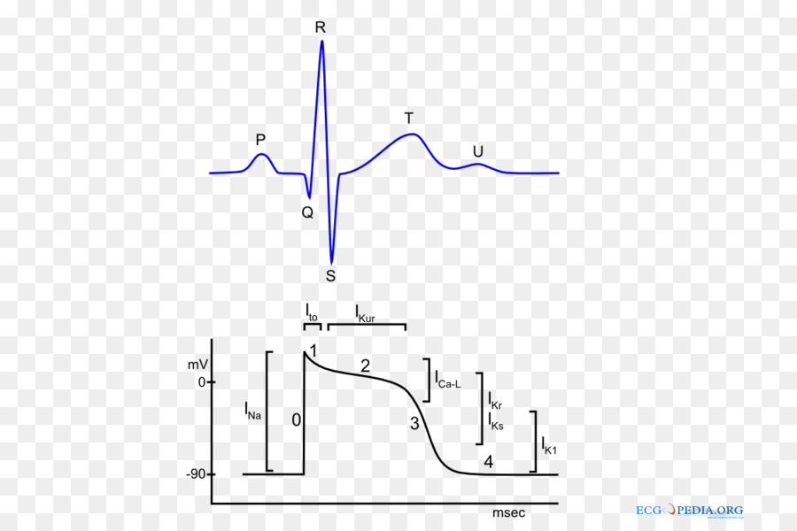 Action Potential Png - Text Heart png download - 800*600 - Free Transparent Action ...