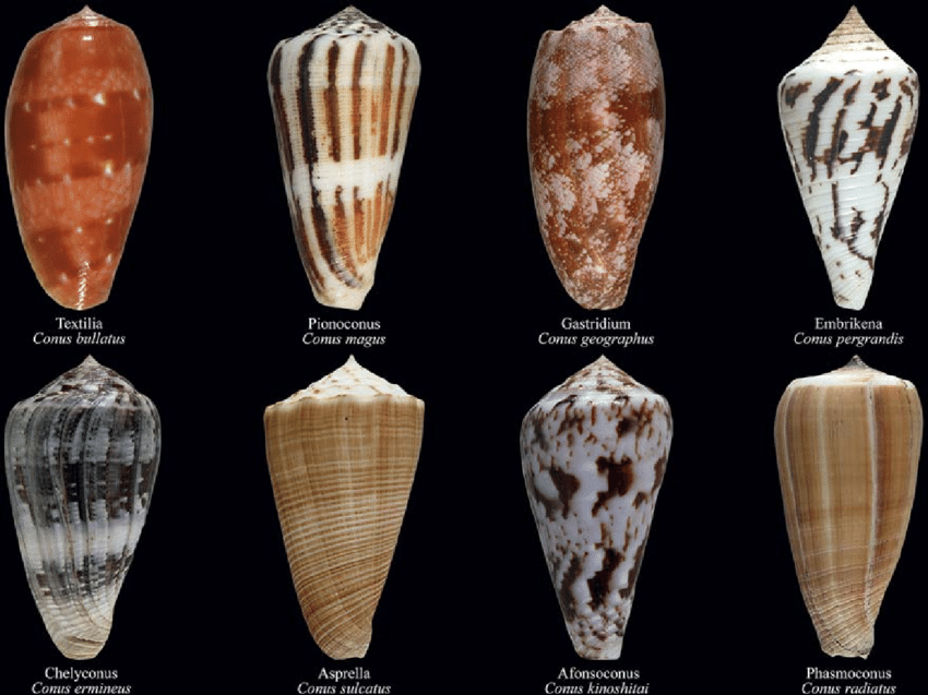 Cone Snails Png - The eight putative lineages of fish-hunting cone snails ...