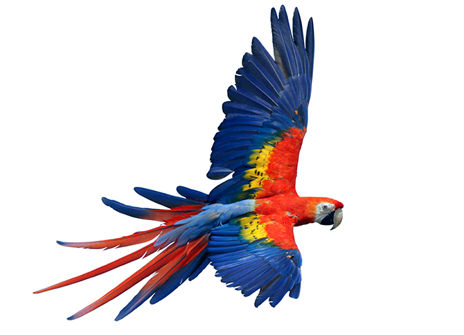 Macaw Png - The scarlet macaw u2013 one of the largest members of this group u2013 is a  native