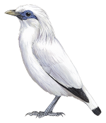 Bali Myna Png - The status of the Bali Myna is improving | HBW Alive