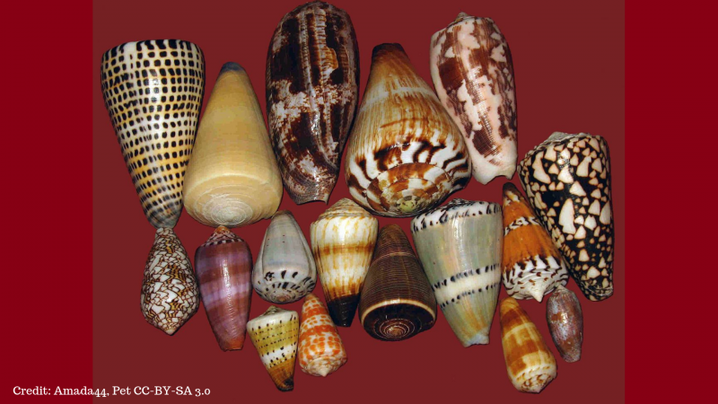 Cone Snails Png - The stinging tale of the cone snail | Research Matters