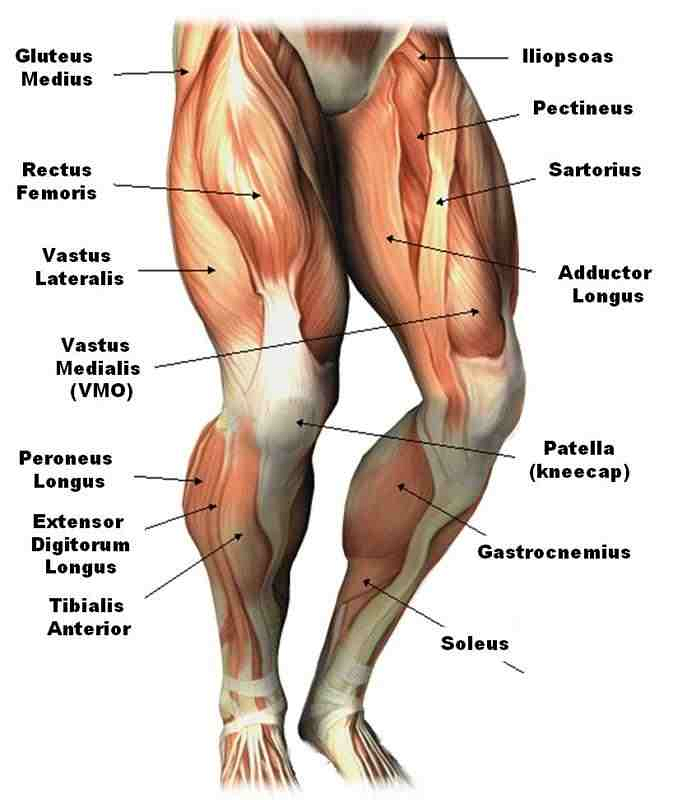 Leg Muscle Png - There are three major muscles in the calf of the leg as well, and ...