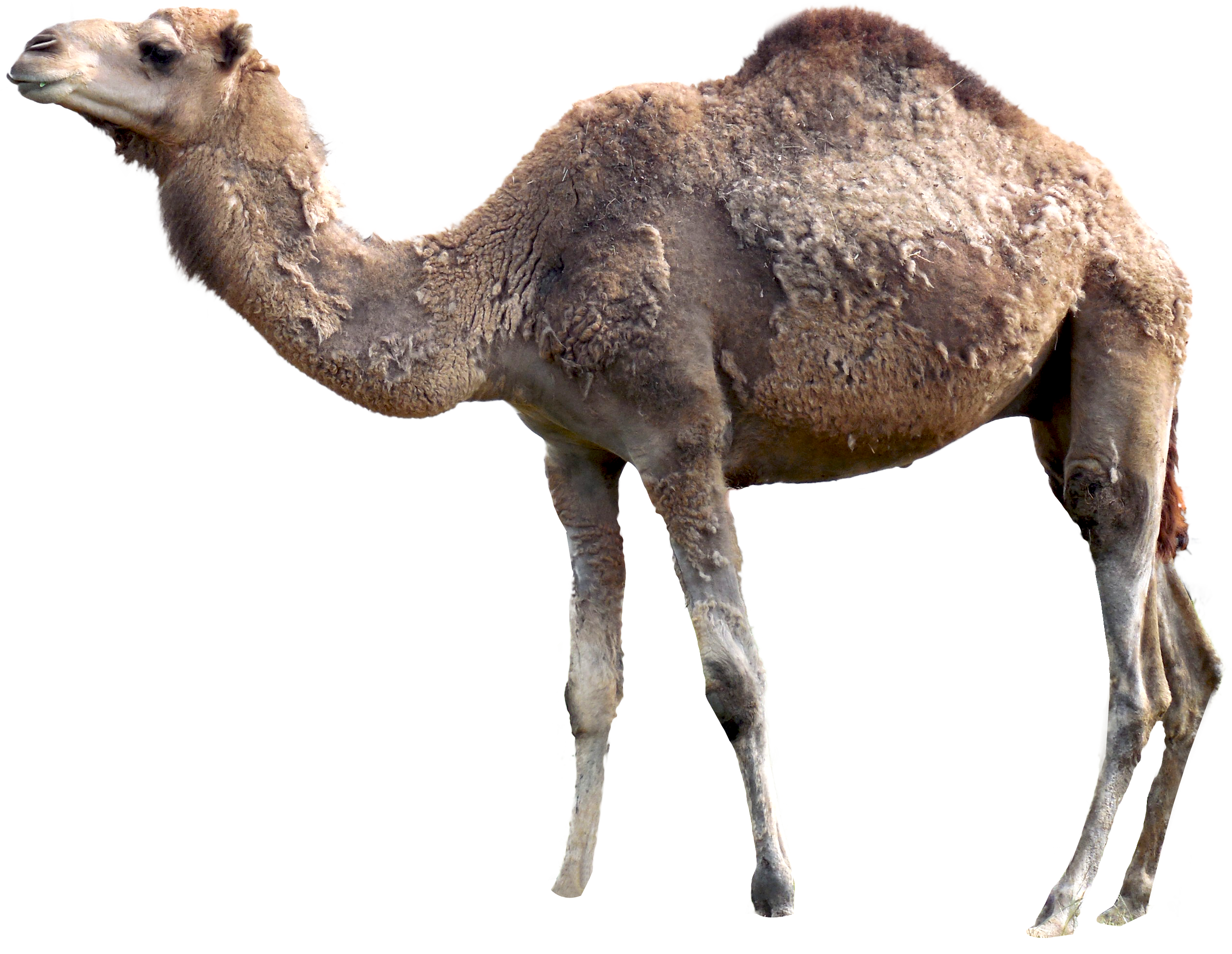 Camel Png - This high quality free PNG image without any background is about animals  and camel.
