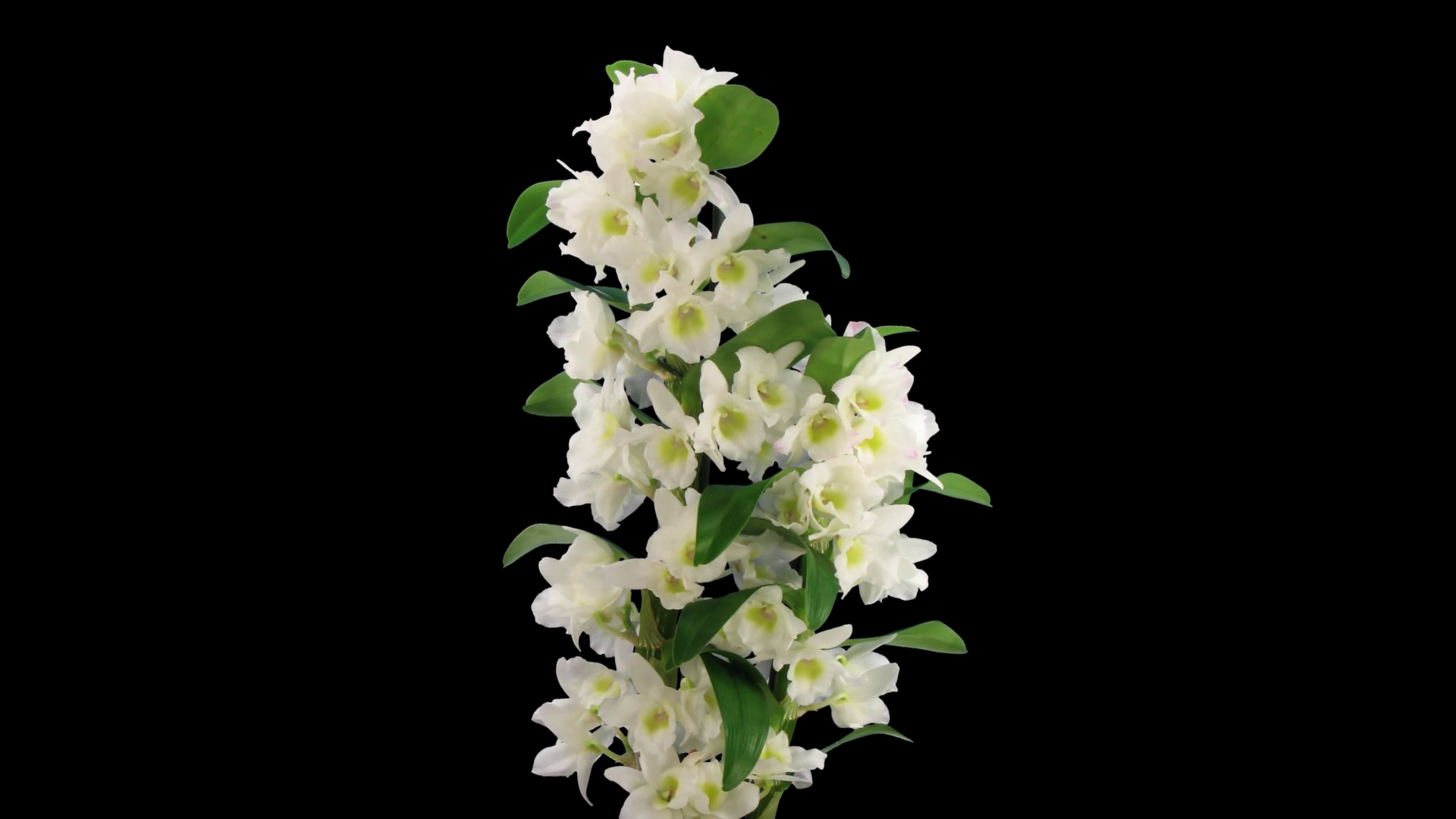 Dendrobium Nobile Png - Time-lapse of opening Orchid Dendrobium (Nobile type hybrid) 1c1 ...