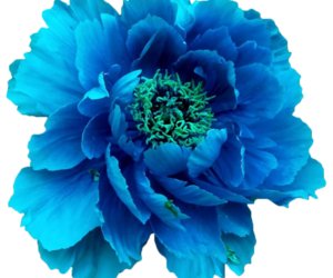 Turquoise Flower Png Amp Free Turquoise Flower Png