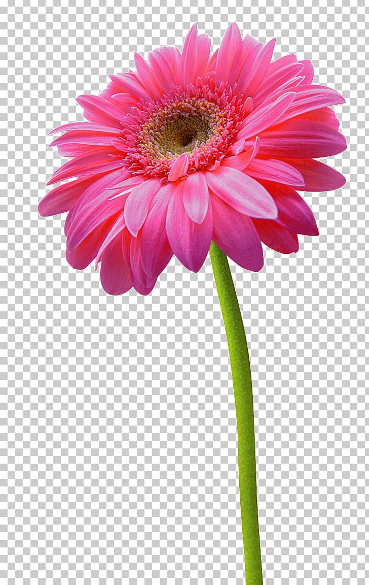 Pink Sunflowers Png - Transvaal Daisy Chrysanthemum Flower Pink PNG, Clipart, Annual ...