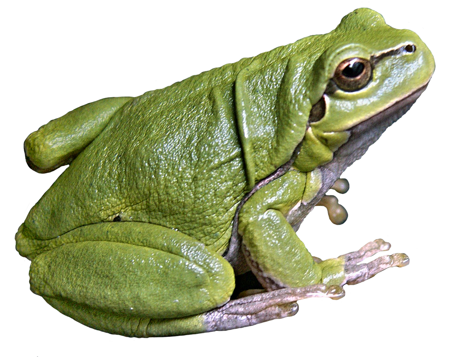 Frog Png - tree frog ...