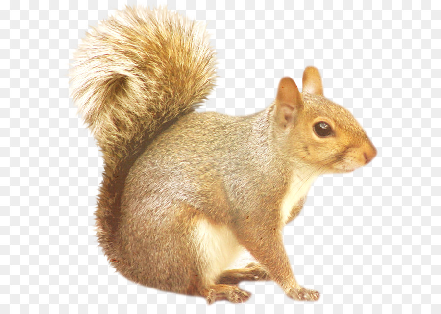 Squirrel Png - Tree squirrels Raccoon - Squirrel PNG