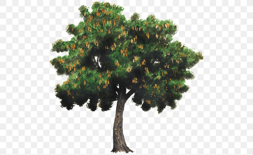 Lime Tree Png - Tree Tamarind Spanish Lime Woody Plant, PNG, 750x502px, Tree, Bark ...