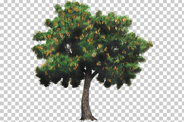 Lime Tree Png - Tree Tamarind Spanish Lime Woody Plant PNG, Clipart, 03032016 ...