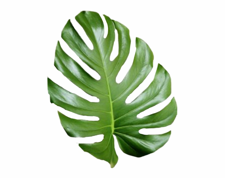 Tropical Leaves Png Free Tropical Leaves Png Transparent Images 28693 Pngio Obviously, they decided that my site was no longer acceptable and they set up specific rules so that tumbex users no longer have access to the contents of tumblr. tropical leaves png transparent