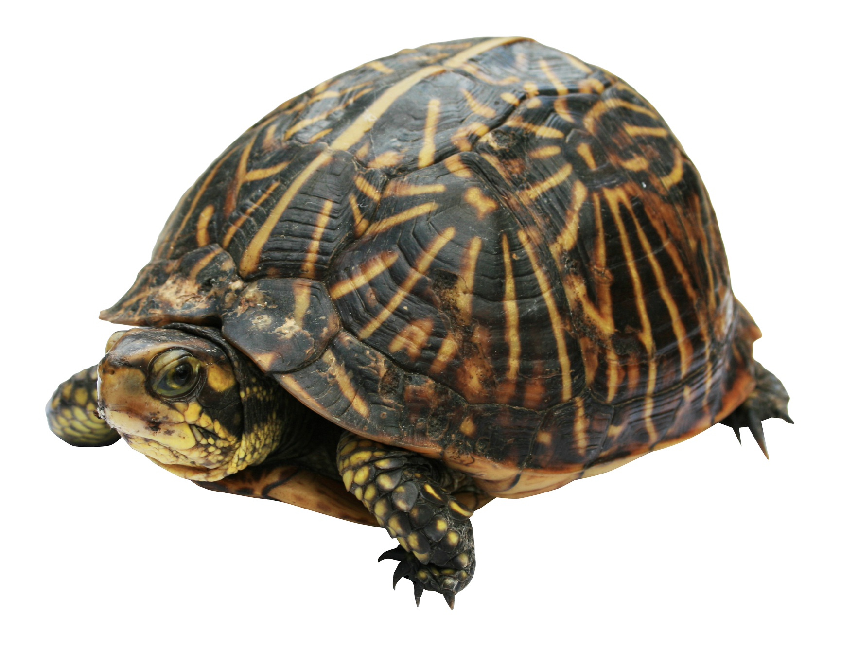 Tortoise Shell Png - Turtle PNG Image - PurePNG   Free transparent CC0 PNG Image Library