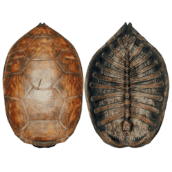 Tortoise Shell Png - Turtle Shell - Official The Forest Wiki