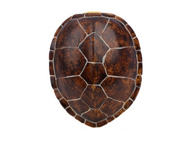 Tortoise Shell Png - Turtle Shell Png & Free Turtle Shell.png Transparent Images #36754 ...