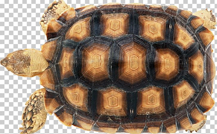 Tortoise Shell Png - Turtle Shell Reptile Carapace Chinese Softshell Turtle PNG ...
