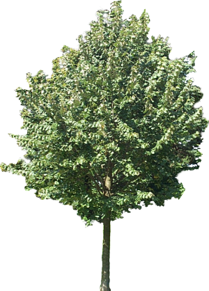 Lime Tree Png - Using plane textures for trees, people, etc.. in still rendering ...