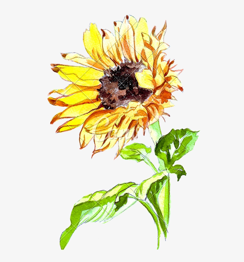 Sunflower Drawing Png - Vector Free Hand Drawing Of A Sunflower Photos By - Sunflower ...