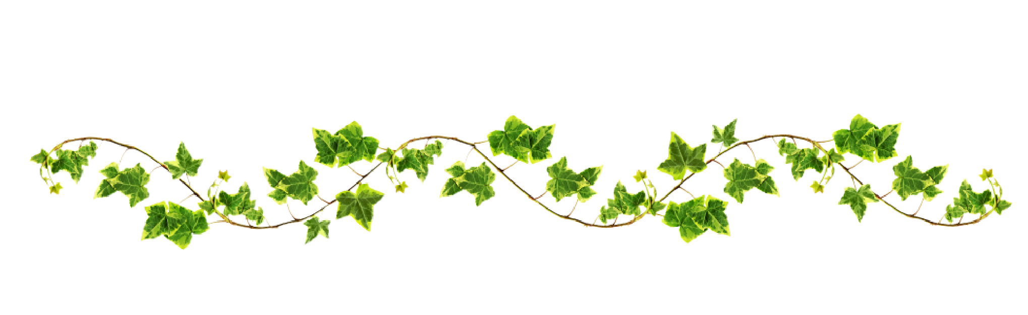vine with maple like l 24814 png images pngio