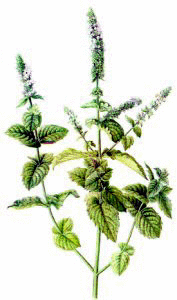 Water Mint Png - Water Mint - /plants/herbs/Water_Mint.png.html