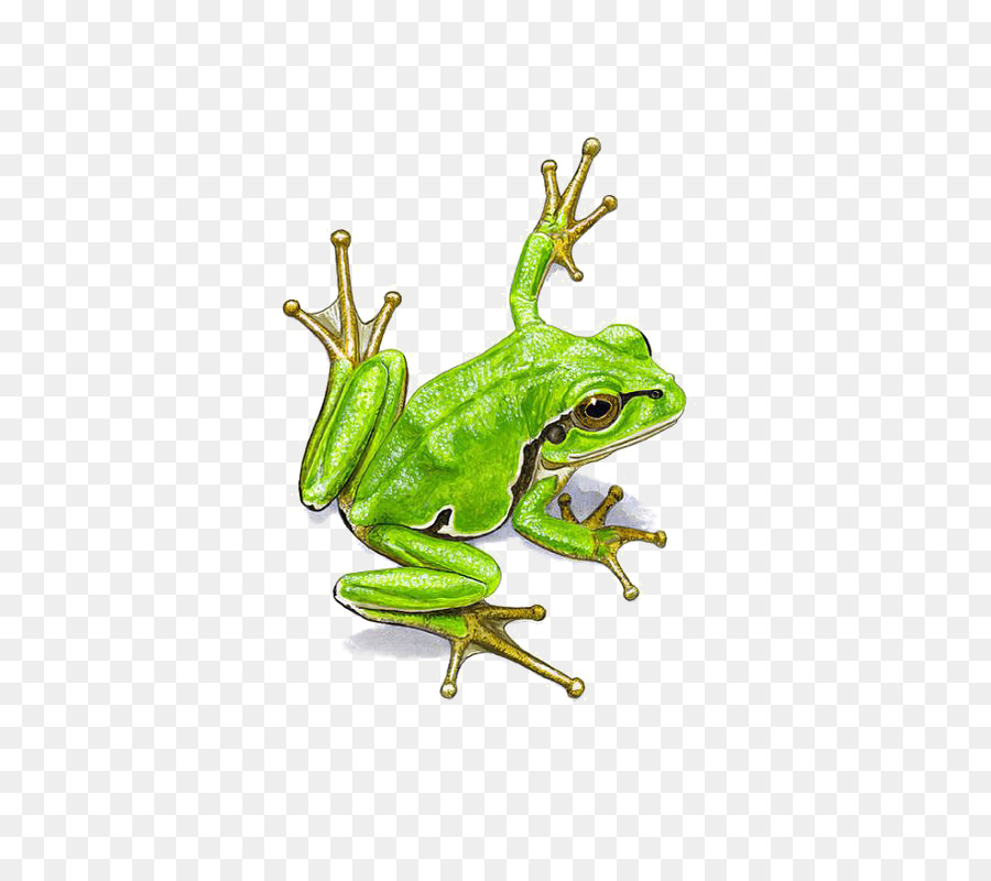 Shrub Frog Png - Watercolor Tree png download - 564*794 - Free Transparent Frog png ...