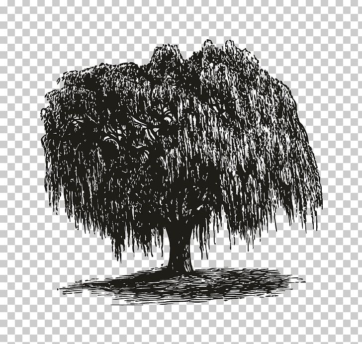 Weeping Willow Tree Black And White Png - Weeping Willow How To Draw Trees Gift Root PNG, Clipart, Black And ...