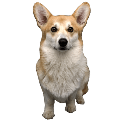 Dog Png - Welsh Corgi Dog Close Up
