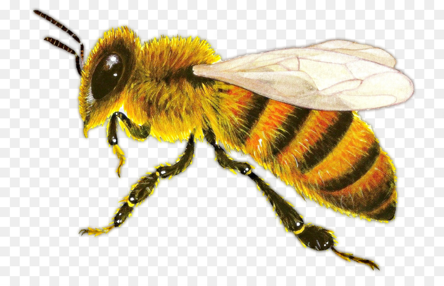 Honey Bee Png - Western honey bee Insect Ant Hornet - bee png download - 1342*842 ...