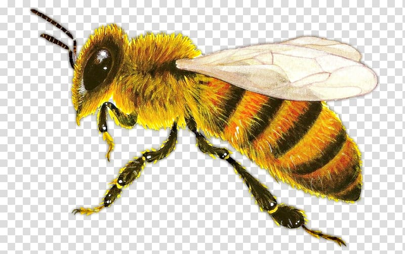 Honeybee Png - Western honey bee Insect Ant Hornet, bee transparent background ...