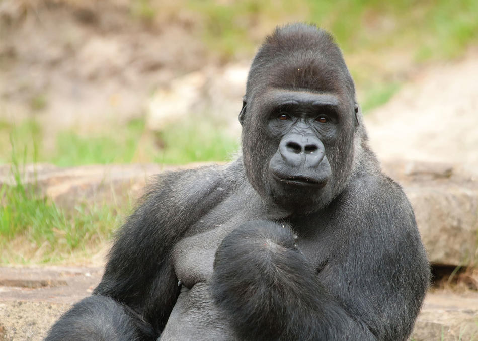 Gorilla Pooping Png - What Gorilla Poop Reveals About Our Messed-up Diet | Columbia Magazine