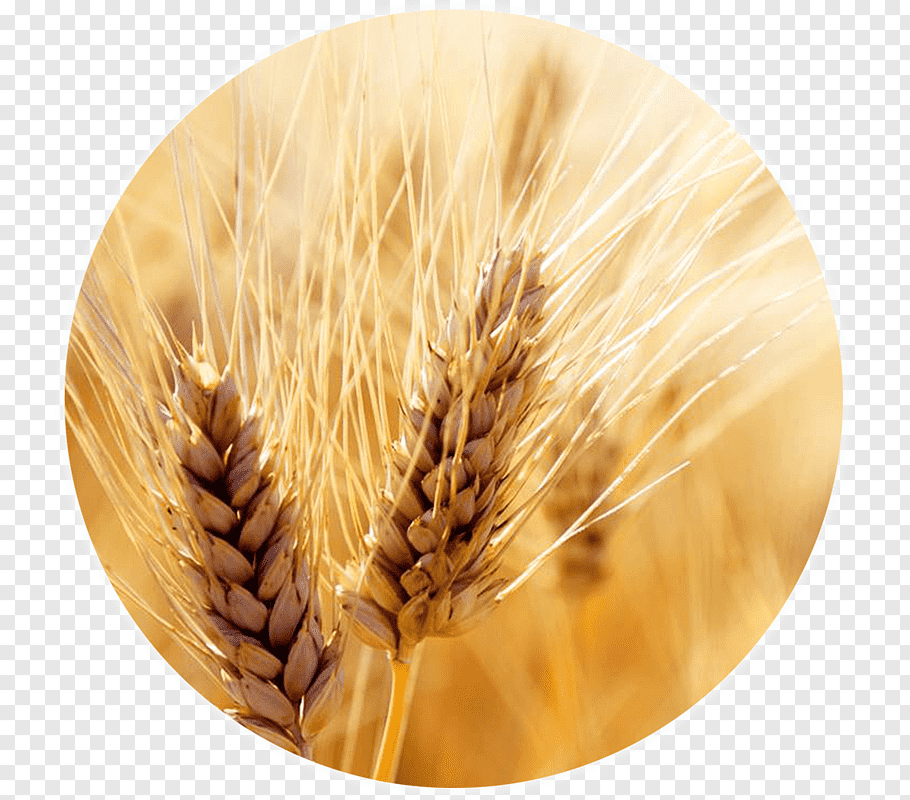 Dinkel Wheat Png - Wheat Cereal Harvest Grain Crop, wheat PNG | PNGWave