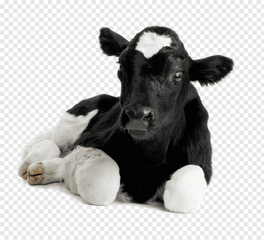 Black Calf Png - White and black calf, Calf Hereford cattle Sheep Live dehorning ...