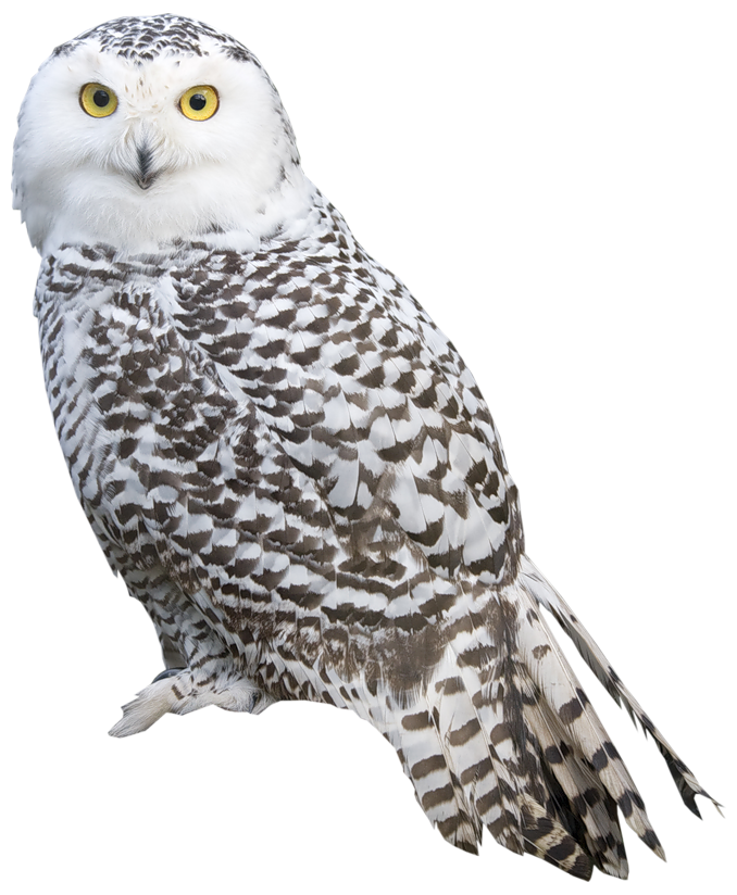 Images Of Owls Png - White Owl PNG Clipart - Best WEB Clipart