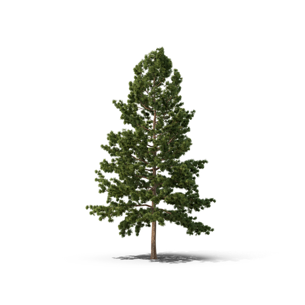 White Pine Png - White Pine Tree PNG Images & PSDs for Download | PixelSquid ...