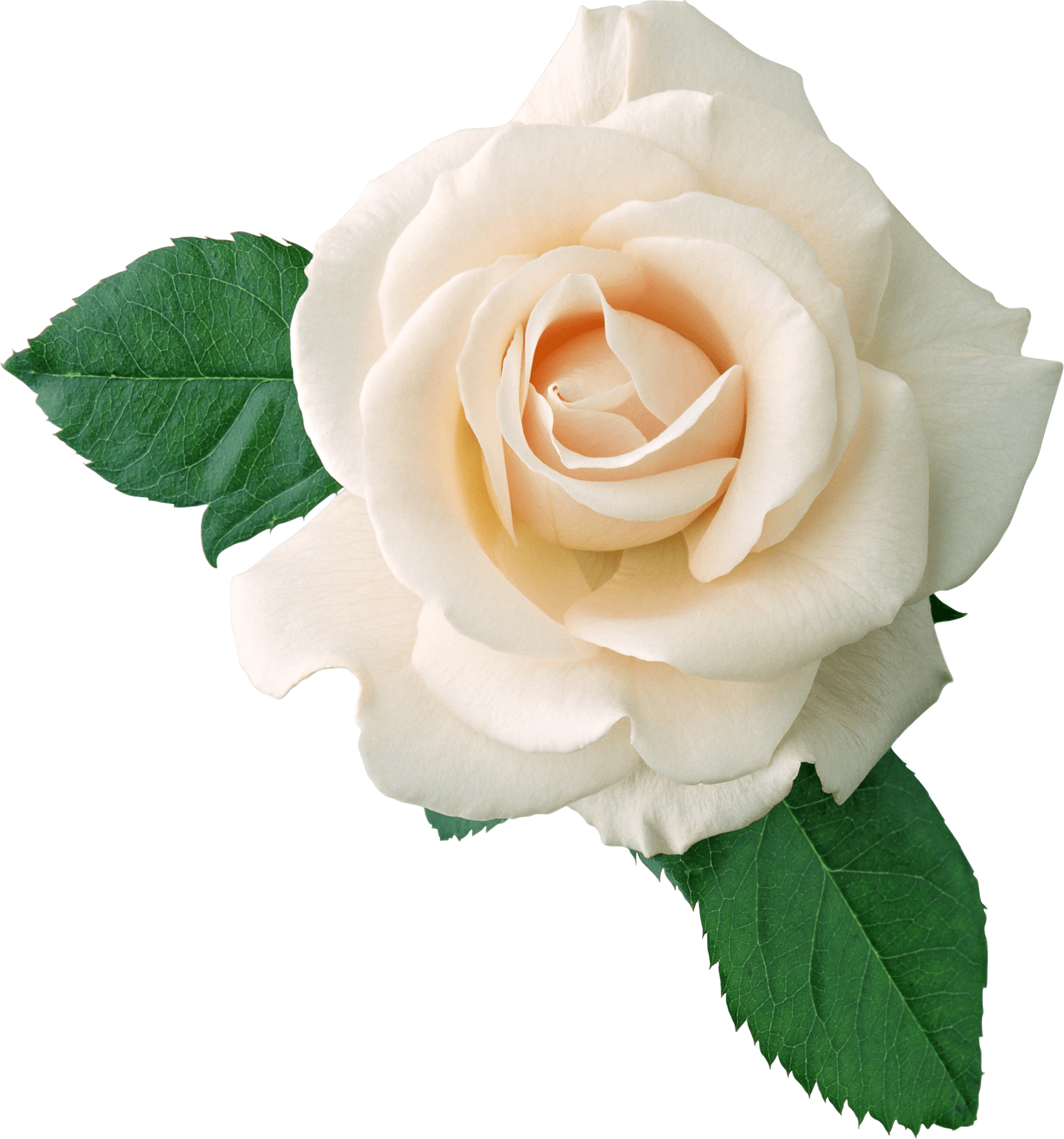 Victorian Rose Png - White Rose On Leaves transparent PNG - StickPNG
